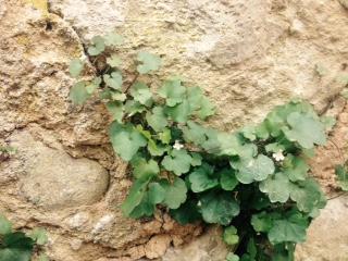 plante non identifiée dans mur en pierres